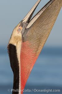 Brown pelican stretches its neck, to keep its throat pouch limber.  The characteristic winter mating plumage of the California race of brown pelican is shown, with deep red gular throat, yellow head and dark brown hindneck, Pelecanus occidentalis, Pelecanus occidentalis californicus, La Jolla