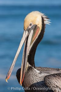 Portrait of California brown pelican, with the characteristic winter mating plumage shown: red throat, yellow head and dark brown hindneck, Pelecanus occidentalis, Pelecanus occidentalis californicus, La Jolla