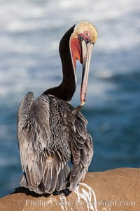 Brown pelican preening, reaching with its beak to the uropygial gland (preen gland) near the base of its tail.  Preen oil from the uropygial gland is spread by the pelican's beak and back of its head to all other feathers on the pelican, helping to keep them water resistant and dry, Pelecanus occidentalis, Pelecanus occidentalis californicus, La Jolla, California