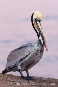 California brown pelican, pre-sunrise, Pelecanus occidentalis californicus, La Jolla