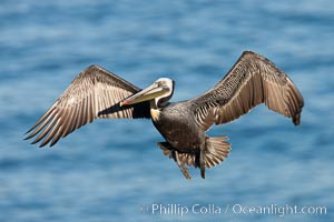 California brown pelican in flight. La Jolla, California, USA, Pelecanus occidentalis, Pelecanus occidentalis californicus, natural history stock photograph, photo id 26284
