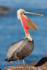 California brown pelican, throwing head back to stretch its throat. La Jolla, California, USA, Pelecanus occidentalis, Pelecanus occidentalis californicus, natural history stock photograph, photo id 26285