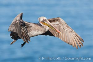 California brown pelican in flight. La Jolla, California, USA, Pelecanus occidentalis, Pelecanus occidentalis californicus, natural history stock photograph, photo id 26288