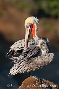 California brown pelican. La Jolla, California, USA, Pelecanus occidentalis, Pelecanus occidentalis californicus, natural history stock photograph, photo id 26290