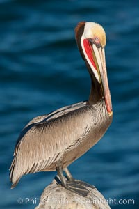California brown pelican, showing characteristic winter plumage including red/olive throat, brown hindneck, yellow and white head colors, Pelecanus occidentalis californicus, La Jolla