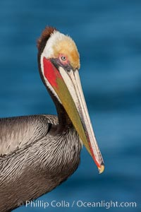 California brown pelican, showing characteristic winter plumage including red/olive throat, brown hindneck, yellow and white head colors, Pelecanus occidentalis, Pelecanus occidentalis californicus, La Jolla