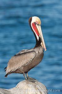 California brown pelican, showing characteristic winter plumage including red/olive throat, brown hindneck, yellow and white head colors. La Jolla, California, USA