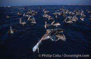 Brown pelicans feeding on krill, Pelecanus occidentalis, Coronado Islands (Islas Coronado)