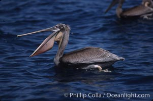 Brown pelicans feeding on krill. Coronado Islands (Islas Coronado), Coronado Islands, Baja California, Mexico, Pelecanus occidentalis, natural history stock photograph, photo id 03178