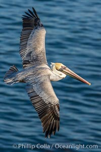 Image 28331, Brown pelican in flight. The wingspan of the brown pelican is over 7 feet wide. The California race of the brown pelican holds endangered species status. In winter months, breeding adults assume a dramatic plumage. La Jolla, California, USA, Pelecanus occidentalis, Pelecanus occidentalis californicus