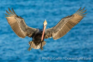 Brown pelican in flight, spreading wings wide to slow in anticipation of landing on seacliffs, La Jolla, California
