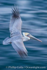 Brown pelican in flight. The wingspan of the brown pelican is over 7 feet wide. The California race of the brown pelican holds endangered species status. In winter months, breeding adults assume a dramatic plumage, La Jolla