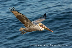 Brown pelican in flight, over the ocean. La Jolla, California, USA, Pelecanus occidentalis, Pelecanus occidentalis californicus, natural history stock photograph, photo id 30164