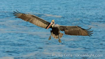 Brown pelican in flight, over the ocean. La Jolla, California, USA, Pelecanus occidentalis, Pelecanus occidentalis californicus, natural history stock photograph, photo id 30171