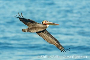 Brown pelican in flight. The wingspan of the brown pelican is over 7 feet wide. The California race of the brown pelican holds endangered species status. In winter months, breeding adults assume a dramatic plumage, Pelecanus occidentalis, Pelecanus occidentalis californicus