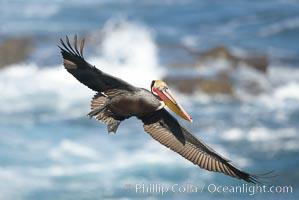 Brown pelican in flight. California race with winter mating plumage, Pelecanus occidentalis, Pelecanus occidentalis californicus, La Jolla