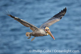 Brown pelican, entangled in monofiliment fishing line on right wing, flying over the ocean.  This large seabird has a wingspan over 7 feet wide, Pelecanus occidentalis, Pelecanus occidentalis californicus, La Jolla, California