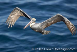 Brown pelican with wings spread during flight. The large wings of an adult brown pelican can reach over 7 feet from end to end, Pelecanus occidentalis, Pelecanus occidentalis californicus, La Jolla, California