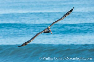 Brown pelican flying over waves and the surf. La Jolla, California, USA, Pelecanus occidentalis, Pelecanus occidentalis californicus, natural history stock photograph, photo id 30168