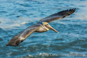Brown pelican flying over waves and the surf. La Jolla, California, USA, Pelecanus occidentalis, Pelecanus occidentalis californicus, natural history stock photograph, photo id 30169