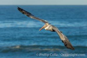 Brown pelican flying over waves and the surf. La Jolla, California, USA, Pelecanus occidentalis, Pelecanus occidentalis californicus, natural history stock photograph, photo id 30185