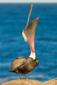 California Brown Pelican head throw, stretching its throat to keep it flexible and healthy, La Jolla