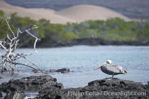 Brown pelican, Pelecanus occidentalis, North Seymour Island