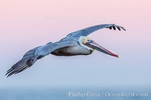 Brown pelican in flight, softly lit by flash against pink predawn sky, Pelecanus occidentalis, Pelecanus occidentalis californicus, La Jolla, California