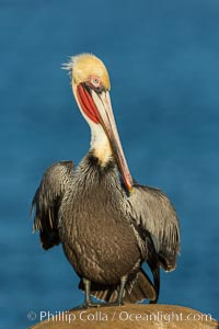 Brown pelican portrait, displaying winter plumage with distinctive yellow head feathers and red gular throat pouch. La Jolla, California, USA, Pelecanus occidentalis, Pelecanus occidentalis californicus, natural history stock photograph, photo id 30256
