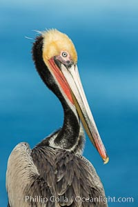 Brown pelican portrait, displaying winter plumage with distinctive yellow head feathers and red gular throat pouch. La Jolla, California, USA, Pelecanus occidentalis, Pelecanus occidentalis californicus, natural history stock photograph, photo id 30294