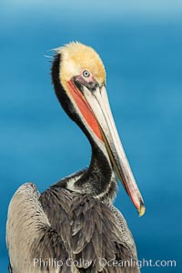 Brown pelican portrait, displaying winter plumage with distinctive yellow head feathers and red gular throat pouch, Pelecanus occidentalis, Pelecanus occidentalis californicus, La Jolla, California