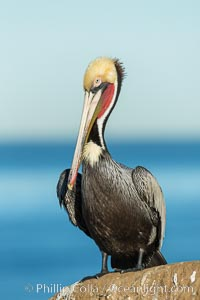 Brown pelican portrait, displaying winter plumage with distinctive yellow head feathers and red gular throat pouch. La Jolla, California, USA, Pelecanus occidentalis, Pelecanus occidentalis californicus, natural history stock photograph, photo id 30299