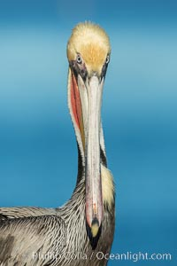 Brown pelican portrait, displaying winter plumage with distinctive yellow head feathers and red gular throat pouch. La Jolla, California, USA, Pelecanus occidentalis, Pelecanus occidentalis californicus, natural history stock photograph, photo id 30300