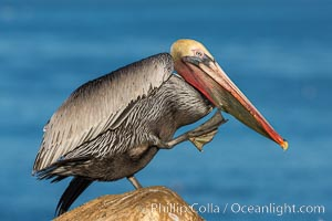 Brown pelican portrait, displaying winter plumage with distinctive yellow head feathers and red gular throat pouch. La Jolla, California, USA, Pelecanus occidentalis, Pelecanus occidentalis californicus, natural history stock photograph, photo id 28329