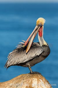 Brown pelican portrait, displaying winter plumage with distinctive yellow head feathers and red gular throat pouch, La Jolla, California