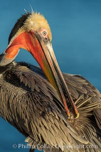 A brown pelican preening, reaching with its beak to the uropygial gland (preen gland) near the base of its tail. Preen oil from the uropygial gland is spread by the pelican's beak and back of its head to all other feathers on the pelican, helping to keep them water resistant and dry. La Jolla, California, USA, Pelecanus occidentalis, Pelecanus occidentalis californicus, natural history stock photograph, photo id 30289