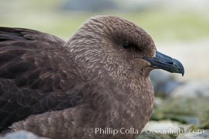 Brown skua in Antarctica. Cuverville Island, Antarctic Peninsula, Antarctica, Stercorarius antarctica, Catharacta antarctica, natural history stock photograph, photo id 25534