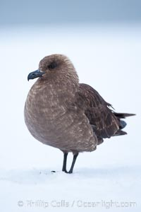 Brown skua in Antarctica. Cuverville Island, Antarctic Peninsula, Antarctica, Stercorarius antarctica, Catharacta antarctica, natural history stock photograph, photo id 25535