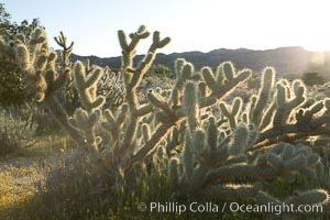 Buckhorn cholla cactus, sunset, near Borrego Valley, Opuntia acanthocarpa, Anza-Borrego Desert State Park, Anza Borrego, California