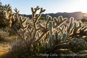 Buckhorn cholla cactus, sunset, near Borrego Valley. Anza-Borrego Desert State Park, Borrego Springs, California, USA, Opuntia acanthocarpa, natural history stock photograph, photo id 10971