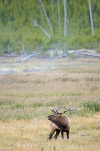 Male elk bugling during the fall rut. Large male elk are known as bulls. Male elk have large antlers which are shed each year. Male elk engage in competitive mating behaviors during the rut, including posturing, antler wrestling and bugling, a loud series of screams which is intended to establish dominance over other males and attract females, Cervus canadensis, Yellowstone National Park, Wyoming