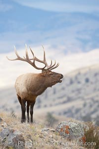 Male elk bugling during the fall rut. Large male elk are known as bulls. Male elk have large antlers which are shed each year. Male elk engage in competitive mating behaviors during the rut, including posturing, antler wrestling and bugling, a loud series of screams which is intended to establish dominance over other males and attract females, Cervus canadensis, Mammoth Hot Springs, Yellowstone National Park, Wyoming