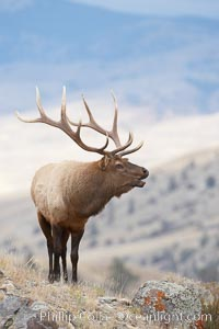 Male elk during the fall rut. Large male elk are known as bulls. Male elk have large antlers which are shed each year. Males engage in competitive mating behaviors during the rut, including posturing, antler wrestling and bugling, a loud series of screams which is intended to establish dominance over other males and attract females, Cervus canadensis, Mammoth Hot Springs, Yellowstone National Park, Wyoming