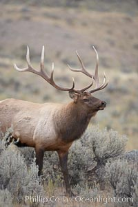 Bull elk in sage brush with large rack of antlers during the fall rut (mating season).  This bull elk has sparred with other bulls to establish his harem of females with which he hopes to mate, Cervus canadensis, Mammoth Hot Springs, Yellowstone National Park, Wyoming