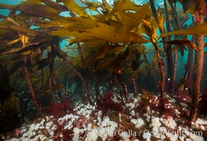 Bull kelp forest near Vancouver Island and Queen Charlotte Strait, anemones cling to the kelp stalks, Browning Pass, Canada, Metridium senile, Nereocystis luetkeana