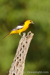 Bullock&#39;s oriole, first year male, Icterus bullockii, Amado, Arizona