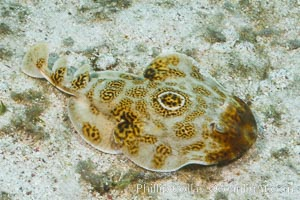 Bullseye torpedo electric ray, Sea of Cortez, Baja California, Mexico, Diplobatis ommata