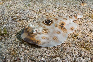 Bullseye torpedo electric ray. Punta Alta, Baja California, Mexico, natural history stock photograph, photo id 32569