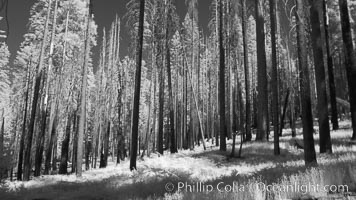 Burned trees, fire damaged and killed, dead, Mariposa Grove