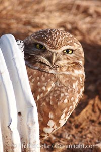 A burrowing owl peeks out of a drainage pipe.  This 10-inch-tall burrowing owl is standing besides its burrow. These burrows are usually created by squirrels, prairie dogs, or other rodents and even turtles, and only rarely dug by the owl itself, Athene cunicularia, Athene cunicularia hypugaea, Salton Sea, Imperial County, California